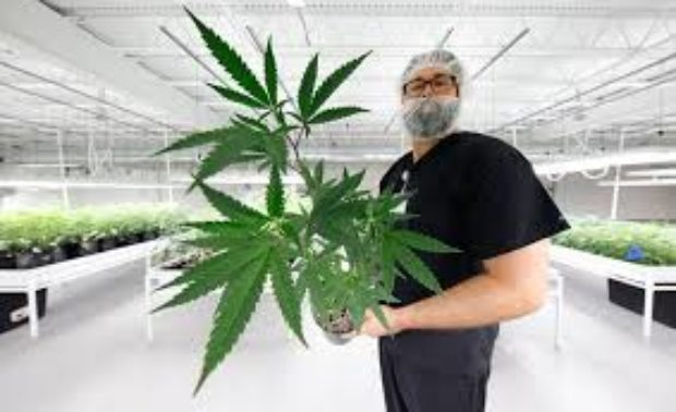 Why MJ Stocks are Back in Gear (GRWG, NUGS, CRLBF, MJNA)