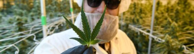 Cannabis Stocks Show Fresh Life Following Corrective Dip (TLRY, CRLBF, MEDH, SNDL, GRWG, APHA)